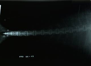 To NMNH Extant Collection (Caranx ignobilis RAD116408-003)