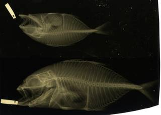 To NMNH Extant Collection (Caranx latus RAD116421-001)