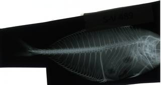 To NMNH Extant Collection (Caranx microbrachium RAD116470-001)