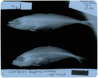 To NMNH Extant Collection (Decapterus kurroides RAD116643-001)