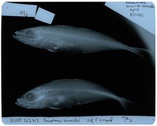 To NMNH Extant Collection (Decapterus kurroides RAD116643-002)