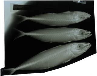 To NMNH Extant Collection (Decapterus russelli RAD116875-001)