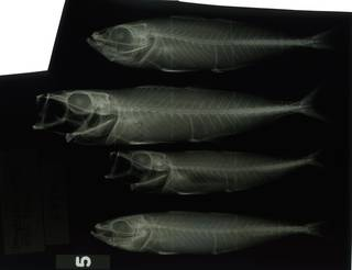 To NMNH Extant Collection (Decapterus russelli RAD117201-001)