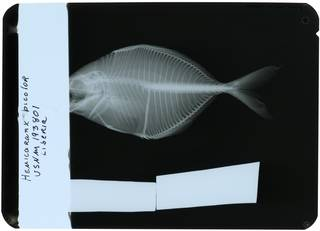 To NMNH Extant Collection (Hemicaranx bicolor RAD117270-001)