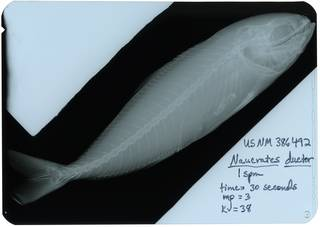 To NMNH Extant Collection (Naucrates ductor RAD117309-001)