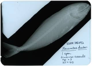 To NMNH Extant Collection (Naucrates ductor RAD117309-002)