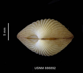 To NMNH Extant Collection (Cyclocardia spurca (Sowerby, 1833) apical view)