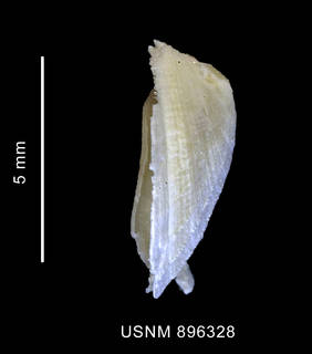 To NMNH Extant Collection (Iothia coppingeri (Smith, 1881) shell lateral view)