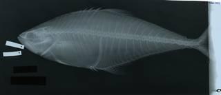 To NMNH Extant Collection (Oligoplites palometa RAD117326-001)
