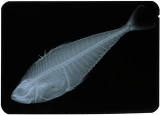 To NMNH Extant Collection (Oligoplites saliens RAD117332-002)