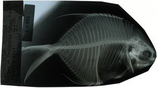 To NMNH Extant Collection (Trachinotus fuscus RAD117648-001)