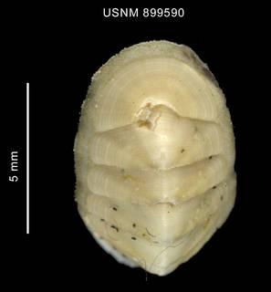 To NMNH Extant Collection (Stenosemus sp. body anterior end)