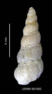 To NMNH Extant Collection (Acirsa annectens Powell, 1951 shell dorsal view)