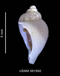 To NMNH Extant Collection (Nothoadmete antarctica (Strebel, 1905) shell lateral view)