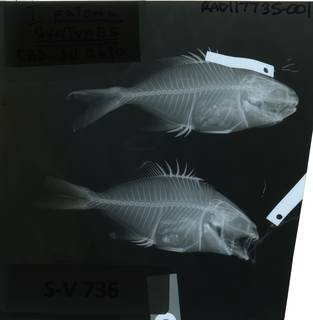 To NMNH Extant Collection (Trachinotus paloma RAD117735-001)