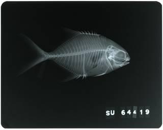 To NMNH Extant Collection (Trachinotus teraia RAD117754-001)