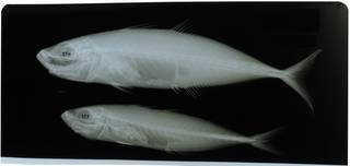 To NMNH Extant Collection (Trachurus longimanus RAD117781-001)