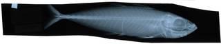 To NMNH Extant Collection (Trachurus mediterraneus RAD117783-002)