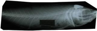 To NMNH Extant Collection (Trachurus murphyi RAD117788-001)