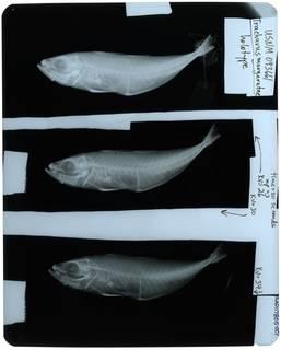 To NMNH Extant Collection (Trachurus margaretae RAD117805-001)