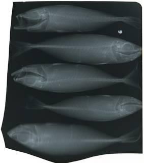 To NMNH Extant Collection (Trachurus trecae RAD117832-001)