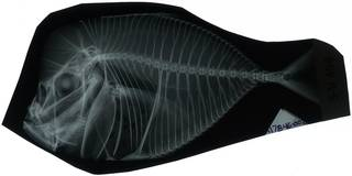 To NMNH Extant Collection (Vomer goreensis RAD117846-002)