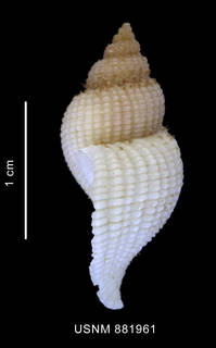To NMNH Extant Collection (Xymenopsis albidus (Philippi, 1846) shell lateral view)