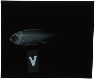 To NMNH Extant Collection (Sargocentron vexillarium RAD118526-001)