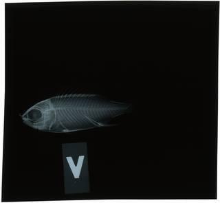 To NMNH Extant Collection (Sargocentron vexillarium RAD118526-002)