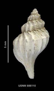 To NMNH Extant Collection (Trophon macquariensis Powell, 1957 shell dorsal view)