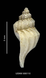 To NMNH Extant Collection (Trophon macquariensis Powell, 1957 shell lateral view)