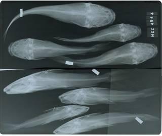 To NMNH Extant Collection (Arius kessleri RAD115894-001)
