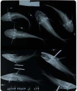 To NMNH Extant Collection (Arius maculatus RAD115906-001)