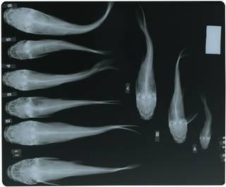 To NMNH Extant Collection (Amphiarius rugispinis RAD115908-002)