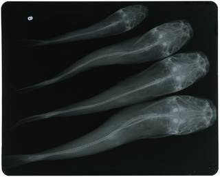 To NMNH Extant Collection (Arius platypogon RAD115938-002)