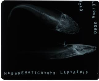 To NMNH Extant Collection (Hexanematichthys leptaspis RAD117971-002)