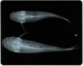 To NMNH Extant Collection (Arius lagoensis RAD115911-002 and RAD115912-002)