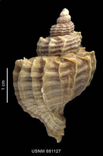 To NMNH Extant Collection (Trophon geversianus (Pallas, 1774), shell, dorsal view)