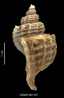 To NMNH Extant Collection (Trophon geversianus (Pallas, 1774), shell, lateral view)