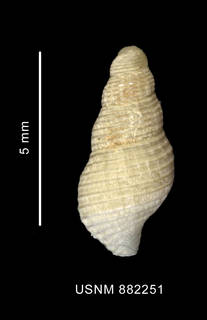 To NMNH Extant Collection (Pareuthria sp., shell, dorsal view)