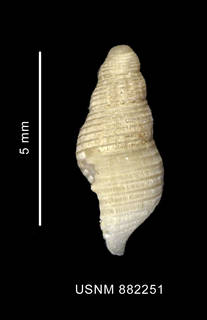 To NMNH Extant Collection (Pareuthria sp., shell, lateral view)