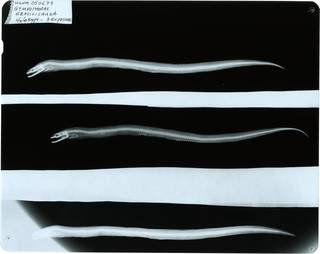 To NMNH Extant Collection (Gymnothorax gracilicauda RAD118613-001)