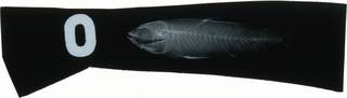 To NMNH Extant Collection (Agonostomus monticola RAD118717-001)