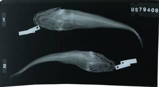 To NMNH Extant Collection (Cathorops multiradiatus RAD117197-001)