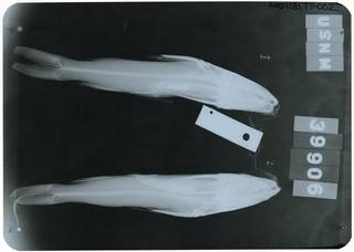 To NMNH Extant Collection (Sciades guatemalensis RAD118177-002)