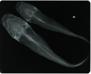 To NMNH Extant Collection (Arius caerulescens RAD118179-002)