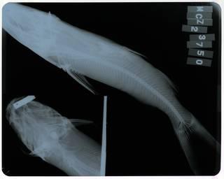 To NMNH Extant Collection (Tachisurus upsulonophorus RAD118239-002)