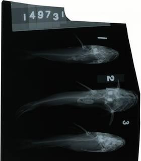To NMNH Extant Collection (Hemiarius sona RAD118268-001)