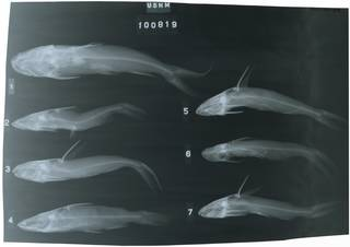 To NMNH Extant Collection (Galeichthys RAD117917-001)