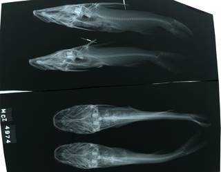 To NMNH Extant Collection (Tachisurus gulosus RAD118233-001)